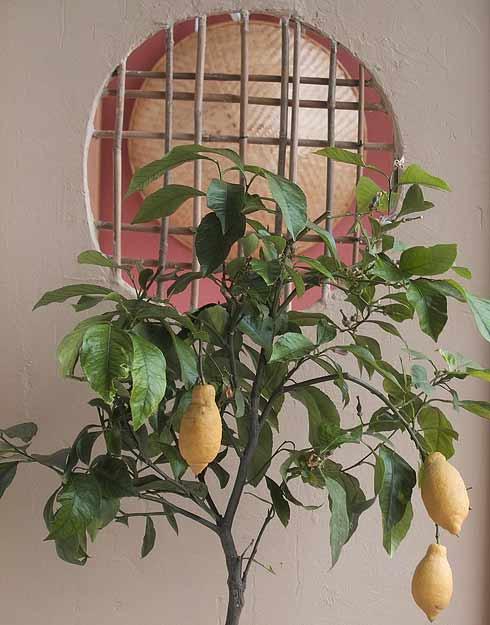 Marumado mit Zitrone