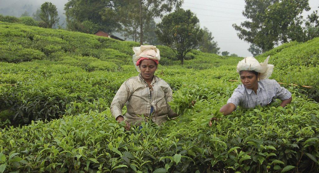 Tea plantations Munnar Kerala