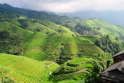 Lush paddy field vista in Isaan, Thailand