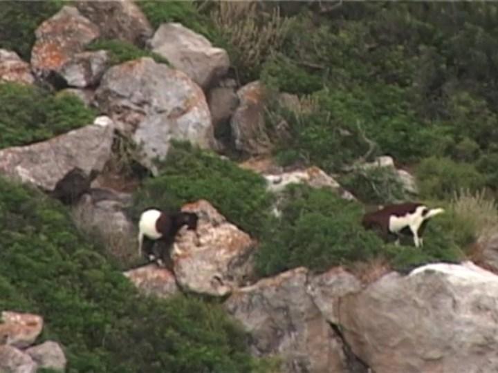 04/02 Comença l'eliminació de les cabres a Es Vedrà