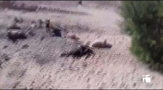 13/09 Dos cans ataquen i maten vuit ovelles a Formentera