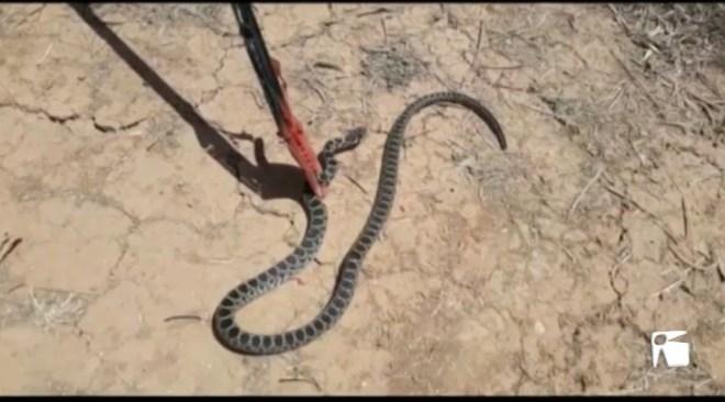 17/07 Una altra serp caçada a Santa Gertrudis