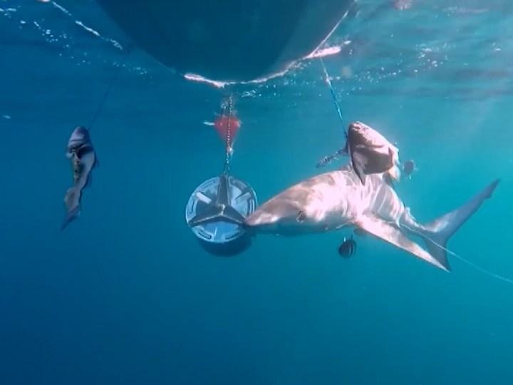 16/06/2020 Taurons en situació crítica a la nostra mar