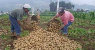 Petani di Sukapura Probolinggo sat melakukan panen kentang, namun hasil panen menurun. FOTO : ASL