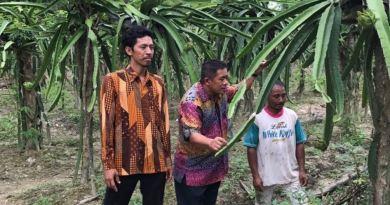 Ir Hugua saat melakukan kunjungan di desa Potuho Jaya Kecamatan Lalembbu, Konsel menyempatkan melihat langsung budi daya buah naga. FOTO : IST