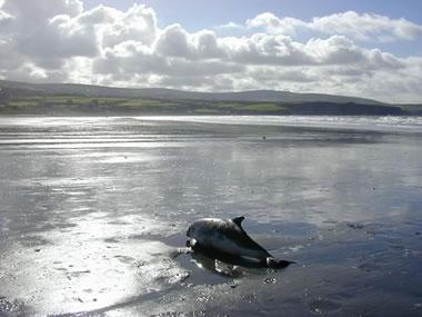 Stranded harbour porpoise at Newport. Photo credit Rod Penrose CSIP