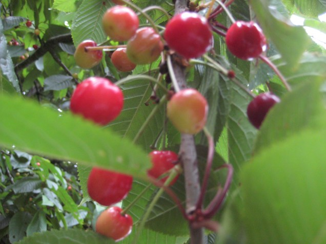 Cherries along the river at Newport