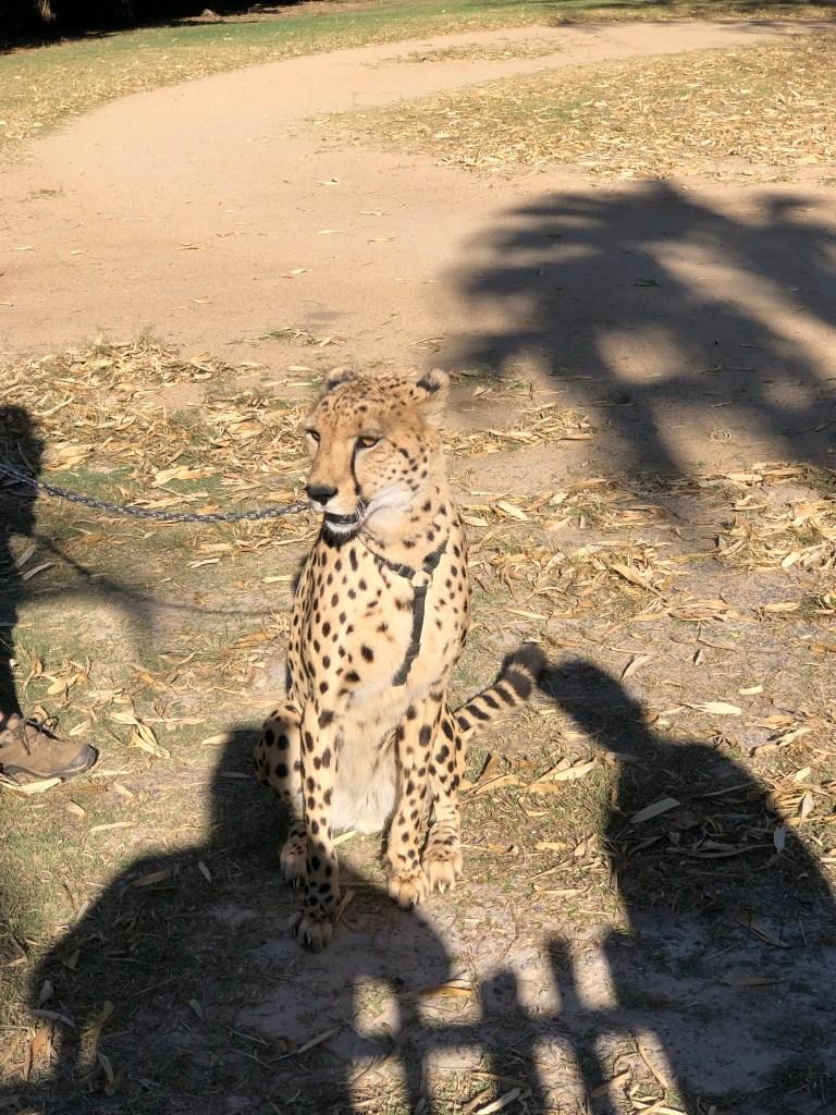 Cheetah on a leash