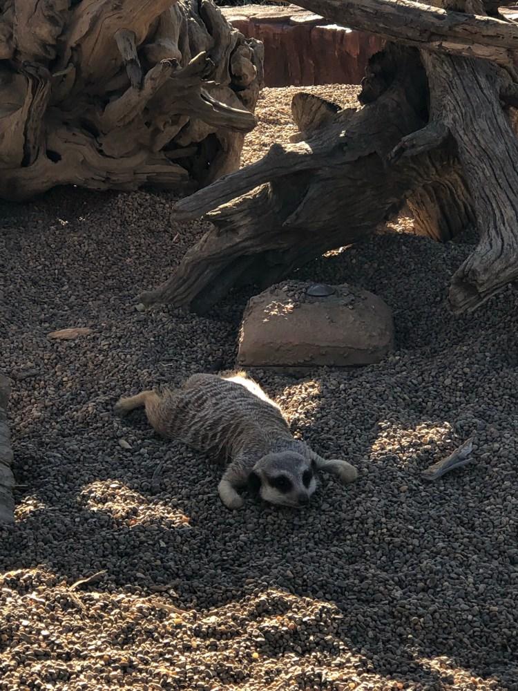 Meerkat lying down