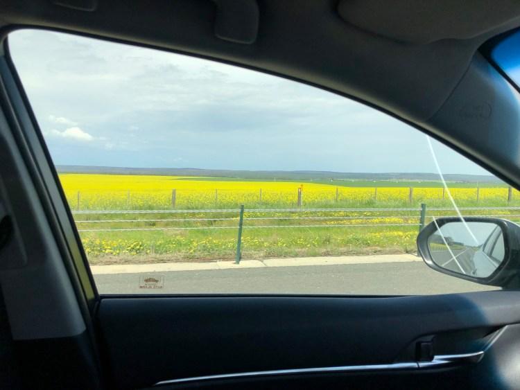 Yellow flower field through car window