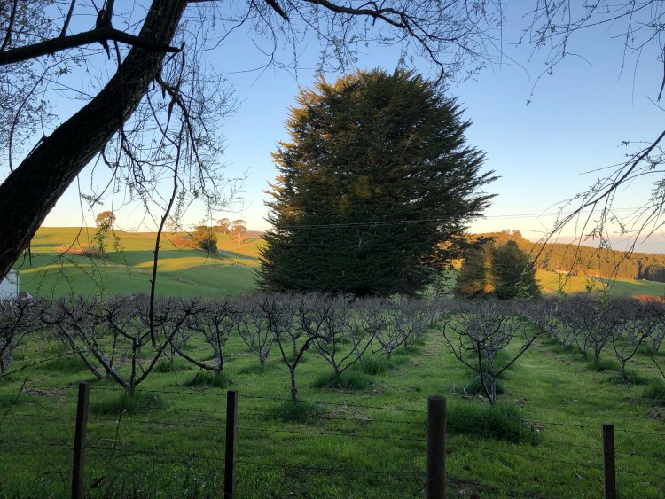 sunset over apple orchard