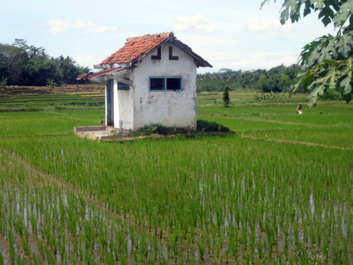 unused buildings in the middle of rice fields