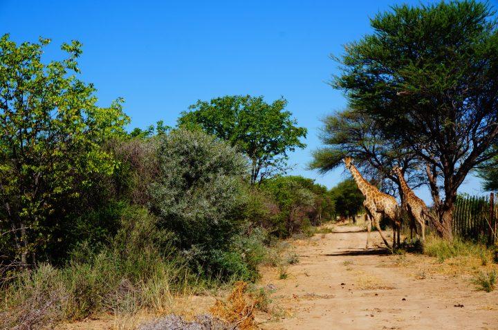 Giraffen der Bambatsi Guestfarm