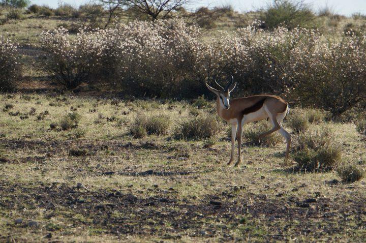 Springbock in der Kalahari