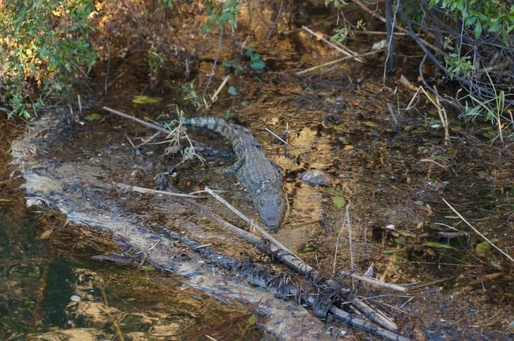 Krokodil Kavango River