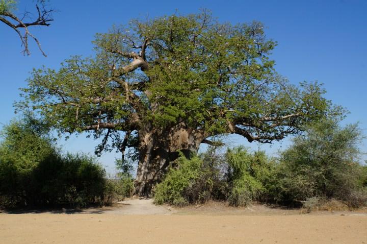 Der große Baobab im Mahango Game Park
