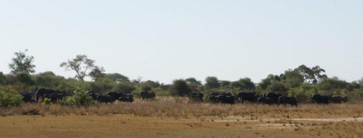 Elefantenherde Okavango Delta