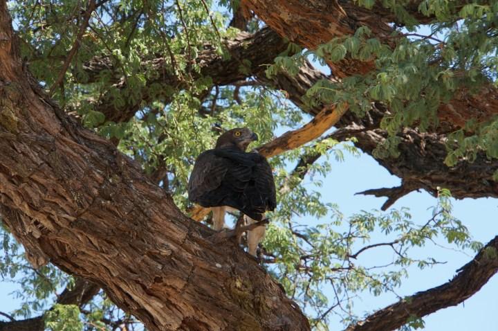 Kampfadler in Namibia