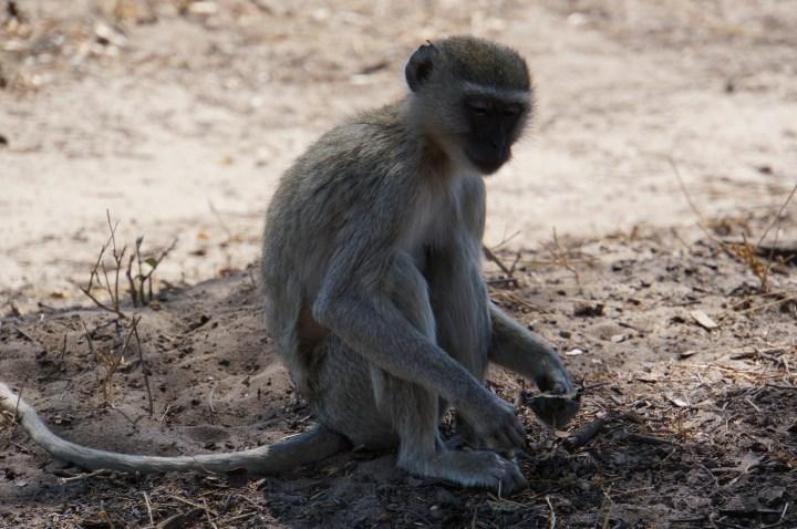 Baboons Caprivi