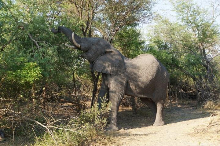 Fressender Elefant Namibia