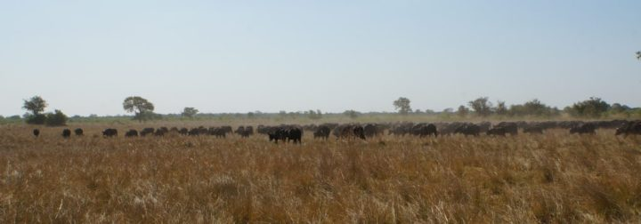 Büffel Namibia