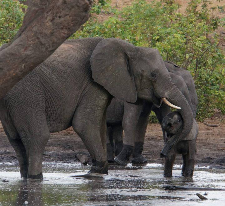 Baby Elefant Botswana