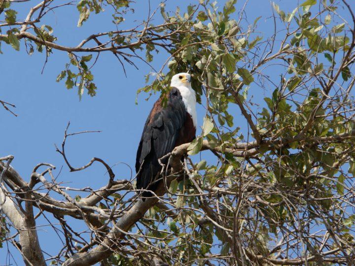 Adler Greifvogel Botswana
