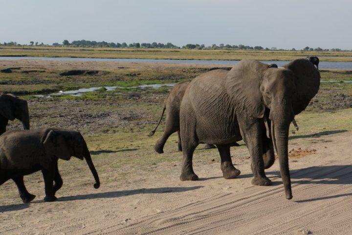Warnsignal aggressive Elefanten