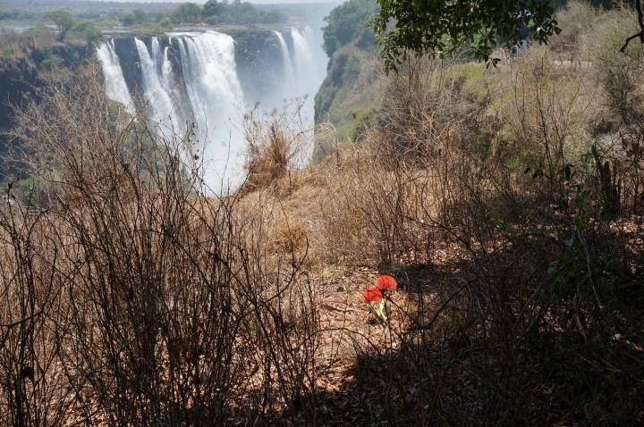 Victoria Falls Fireball Lily