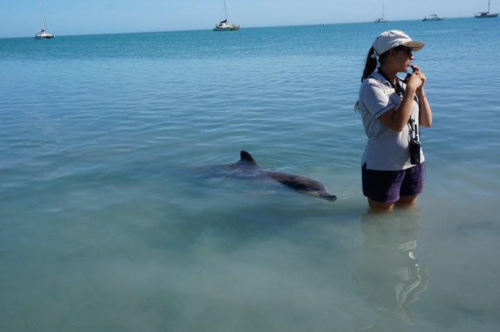 Delfin Fütterung Monkey Mia