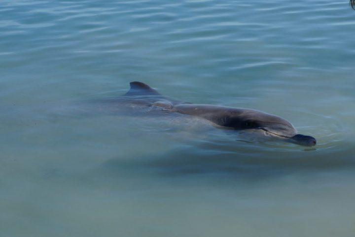 Delfin Westaustralien