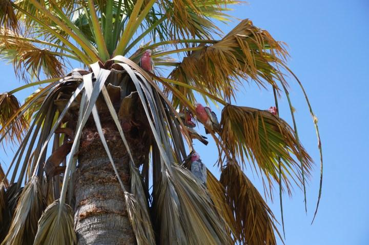 Papageien in Denham