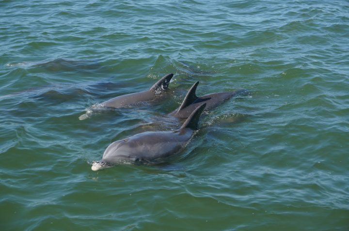 Dolphin Watching Florida Cape Coral