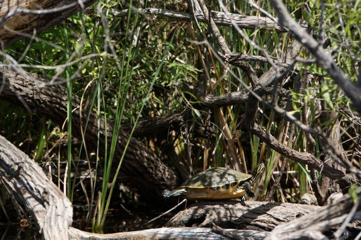 Schildkröte Florida