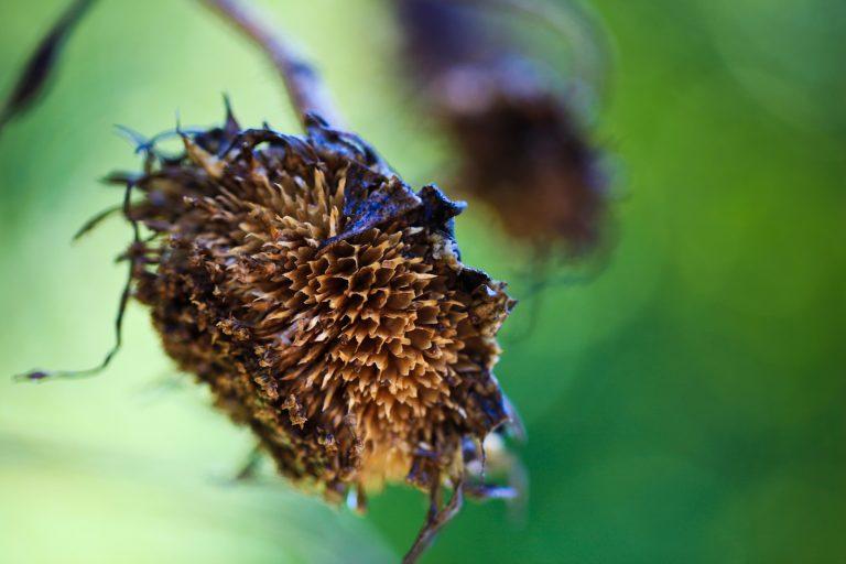 Dead Sunflower Pt. 2