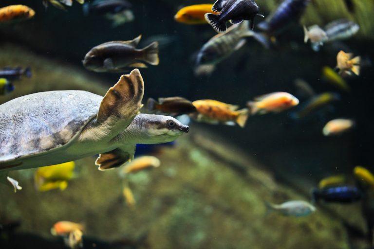 Pig-nose Turtle