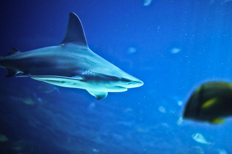 Sandbar Shark Pt. 1