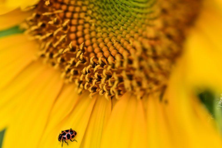 False Ladybug