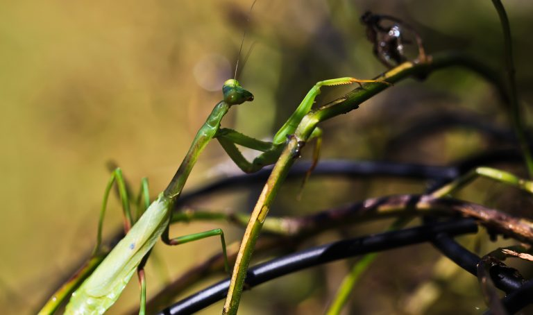 Mantis and Vines