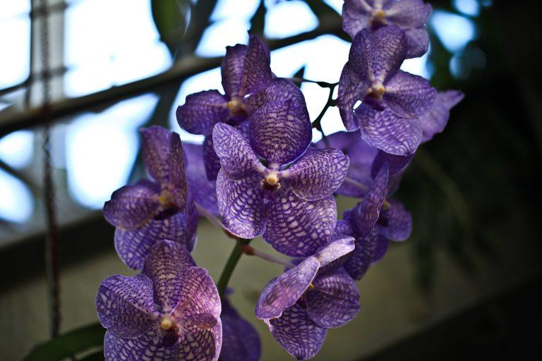 Purple Vanda Orchids