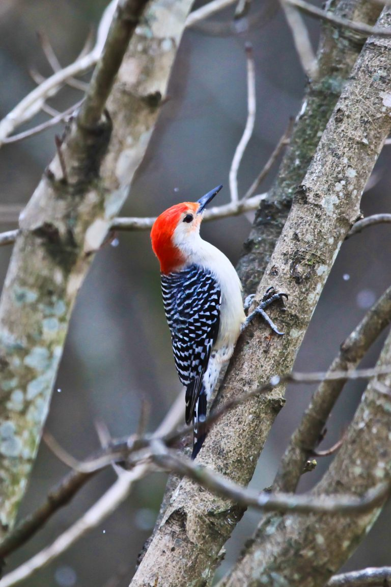 Red Bellied Woodpecker (Chilled)