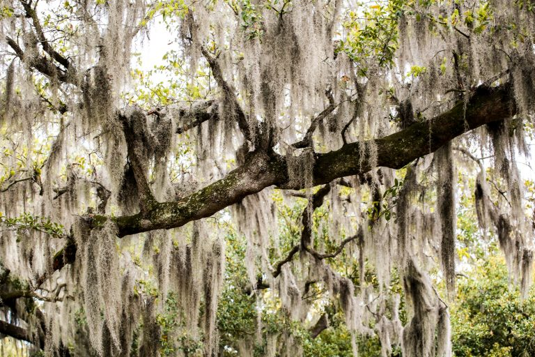 New Orleans' Spanish Moss Pt.1