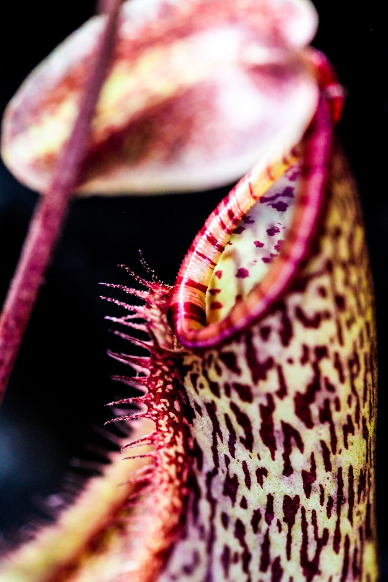 """Nepenthes """"Gentle"""""""
