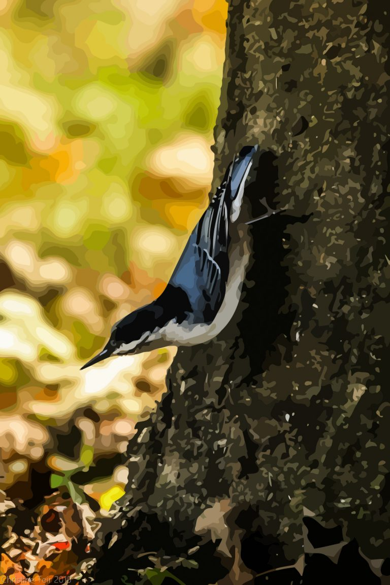 White-breasted Nuthatch #3