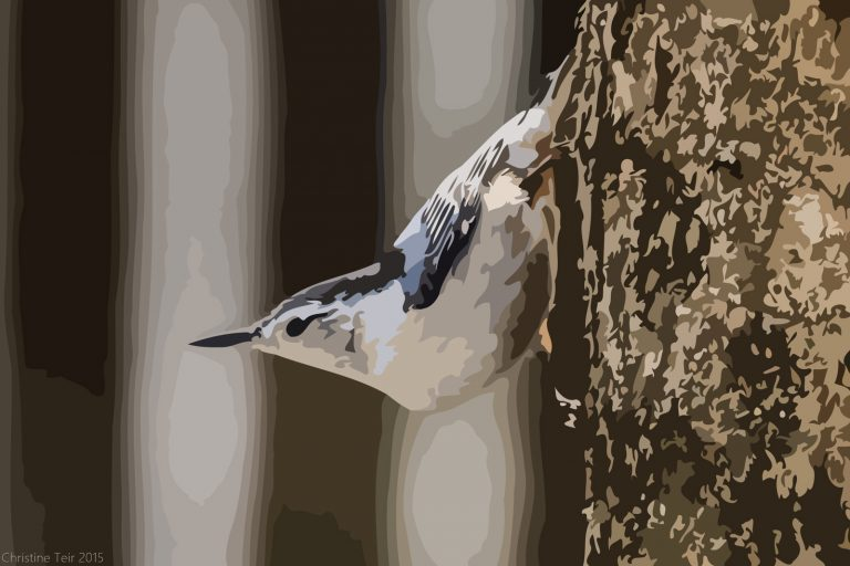 White-breasted Nuthatch #2