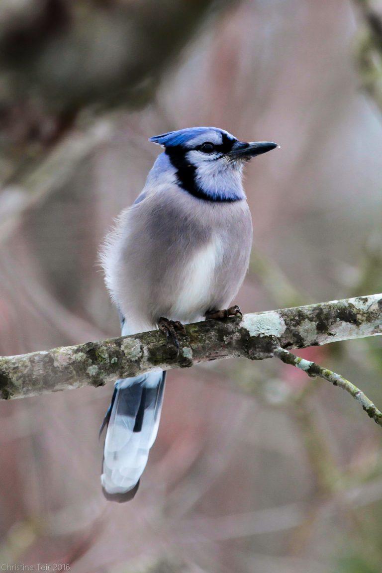 Blue Jay II