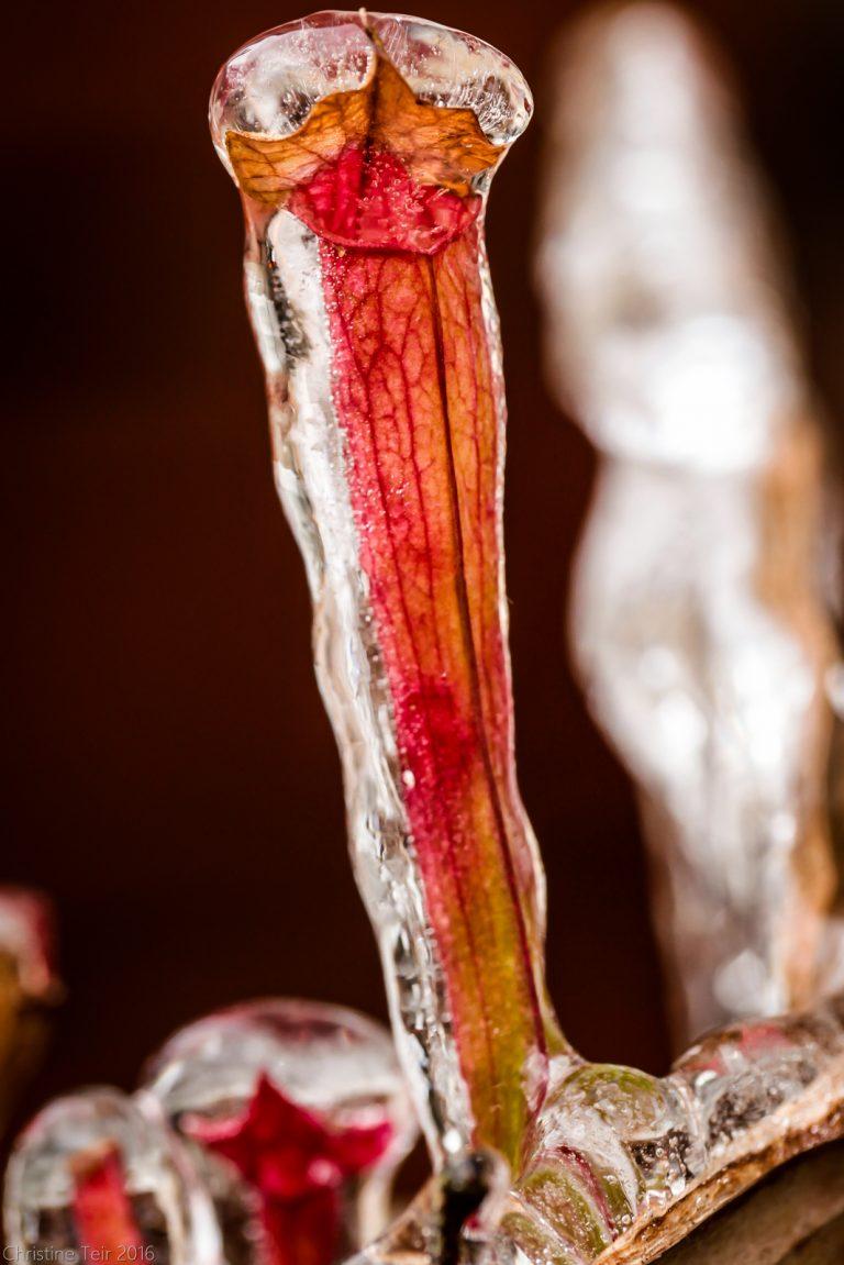 Frozen Sarracenia