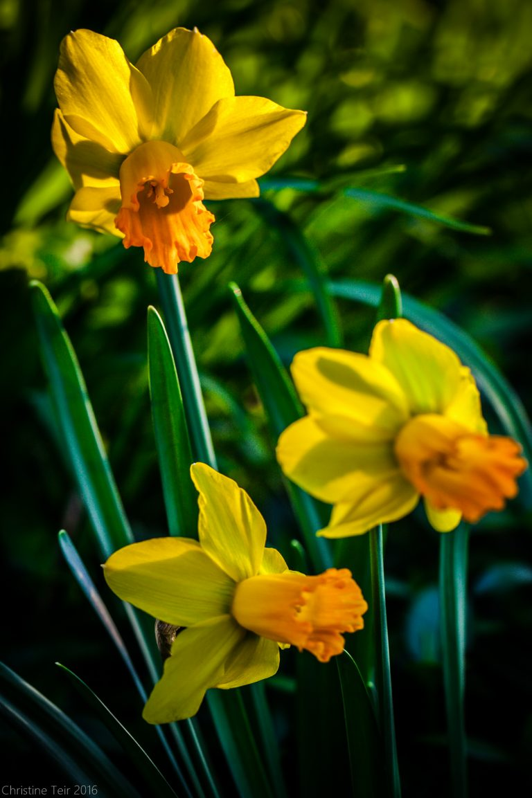 Late Afternoon Daffodils