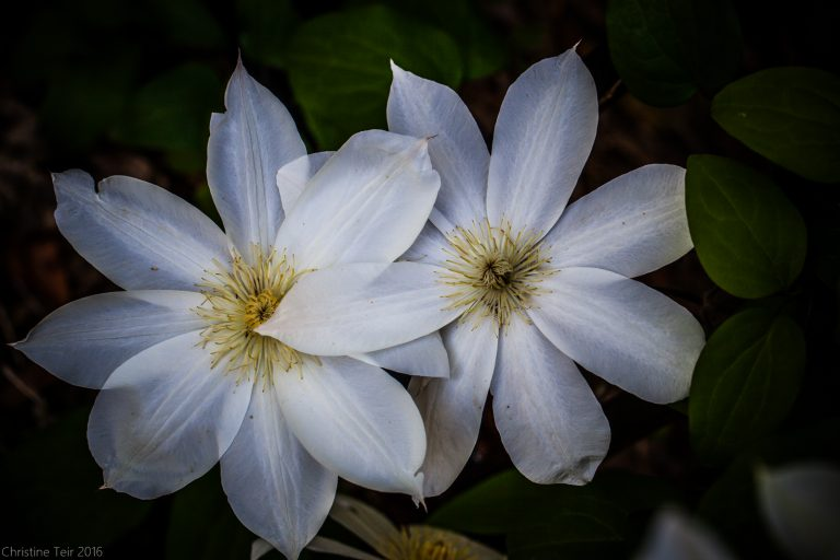 Overcast Clematis