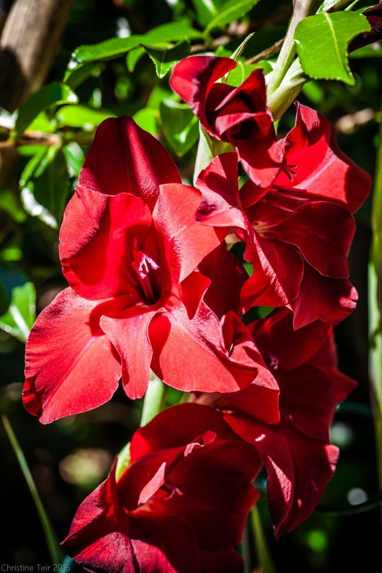 Waxy Red Gladiola